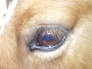 Maxima oog