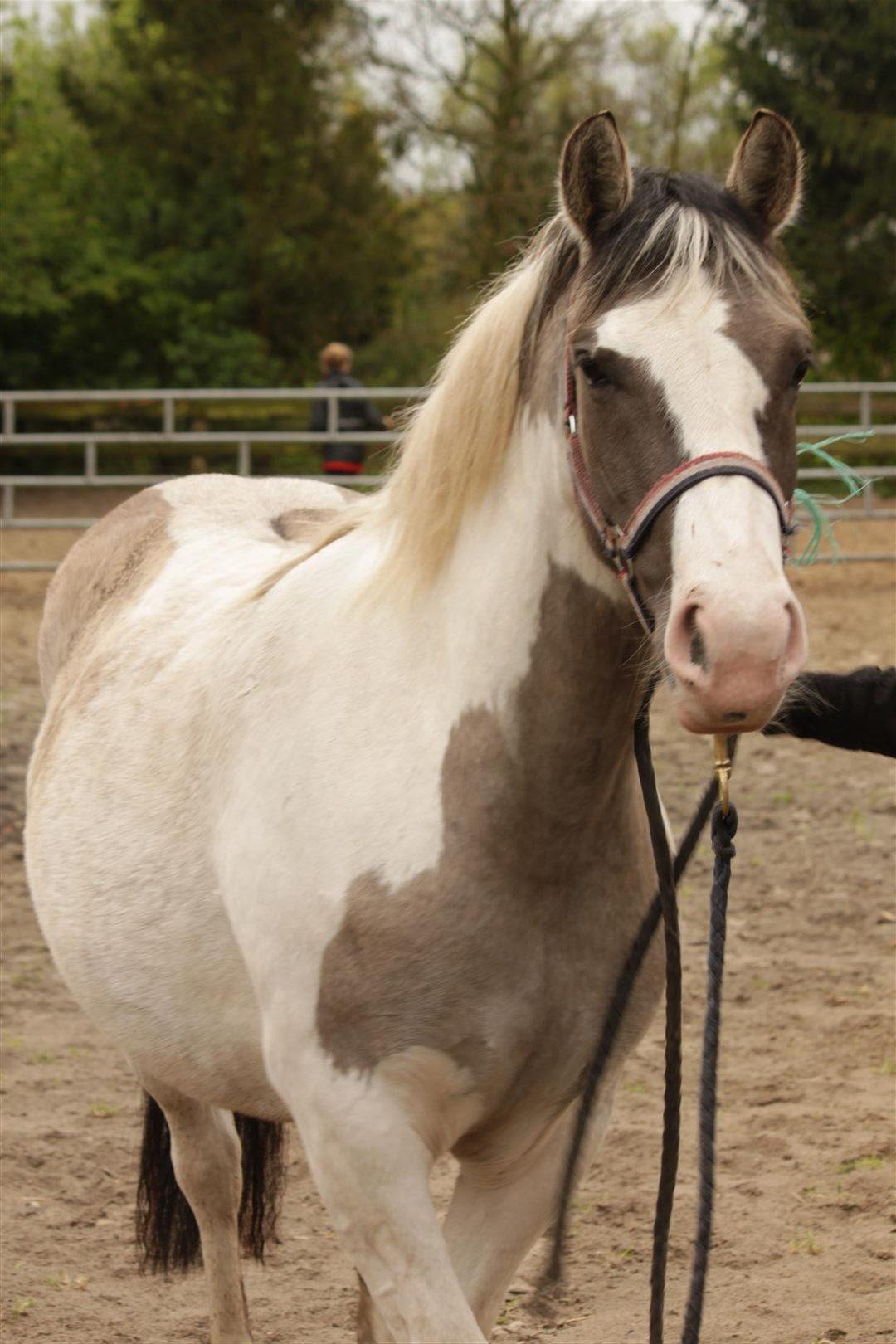 alle paarden ruitercentrum het fjordenpaard